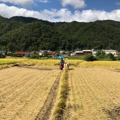 稲刈り...今年はできが良い_f0099102_14392517.jpg