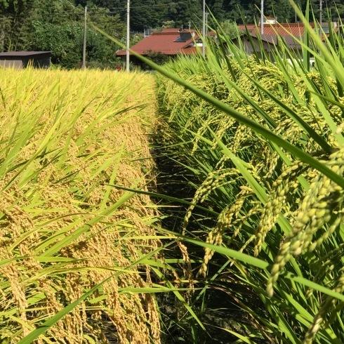 稲刈り...今年はできが良い_f0099102_14393105.jpg