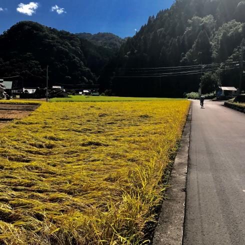 稲刈り...今年はできが良い_f0099102_14393773.jpg