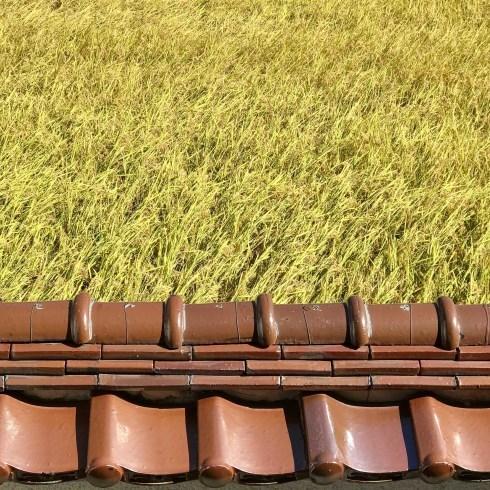 稲刈り...今年はできが良い_f0099102_14394436.jpg