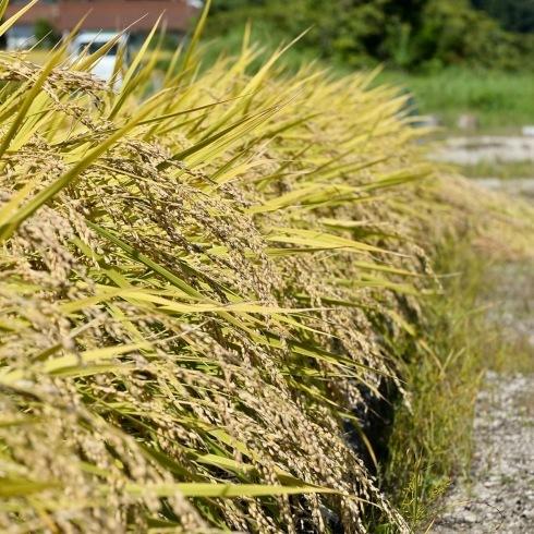 稲刈り...今年はできが良い_f0099102_14395515.jpg