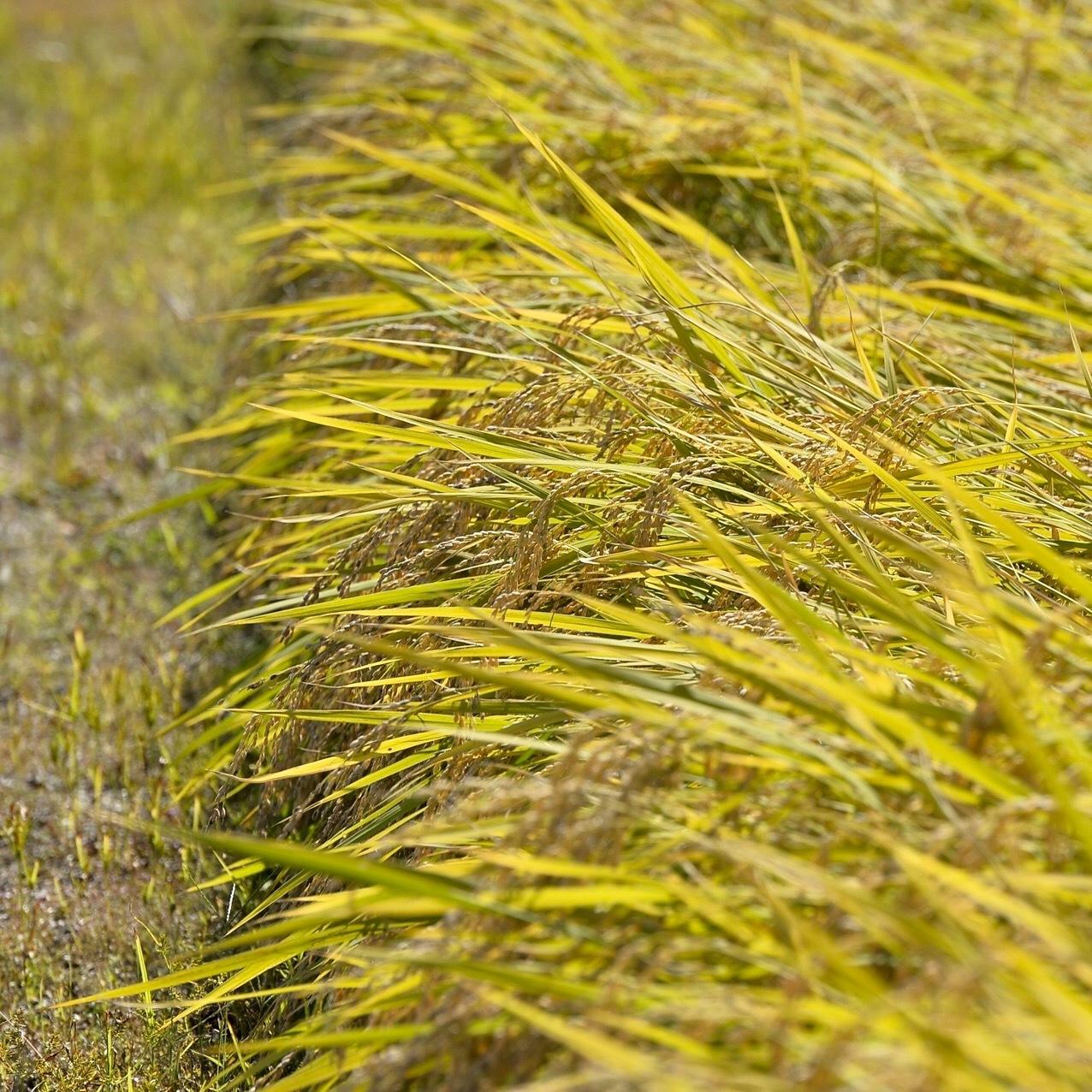 稲刈り...今年はできが良い_f0099102_14395939.jpg