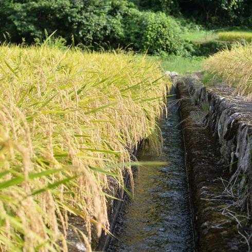 稲刈り...今年はできが良い_f0099102_14400844.jpg