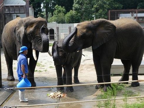 とべ動物園のゾウさん豆知識_e0272869_10374235.jpg