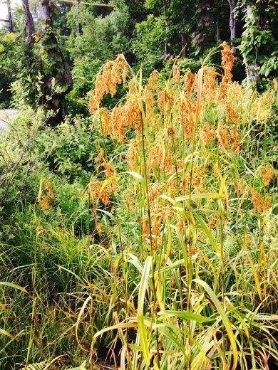 この稲のような植物はナニ?_c0092877_07512247.jpg