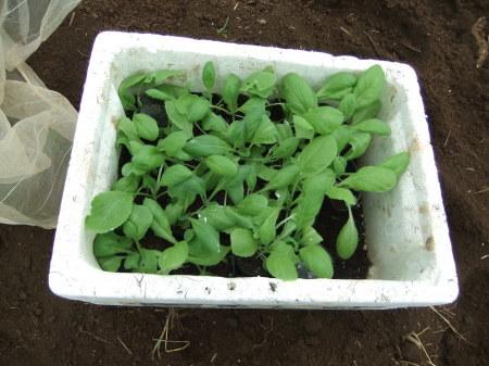 白菜の植え付け_b0137932_17520747.jpg