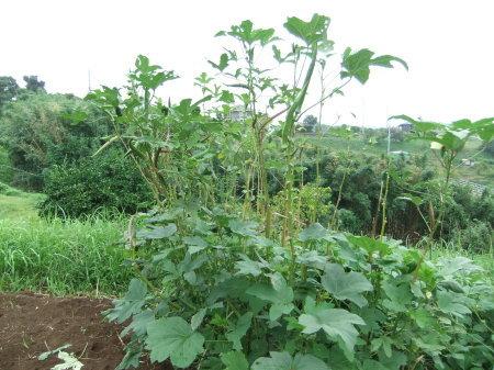 白菜の植え付け_b0137932_21314514.jpg