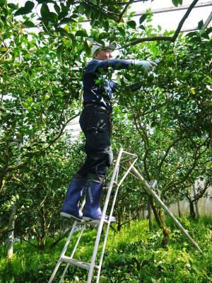 デコポン(肥後ポン) 果実を大きく成長させる匠の水管理と来年のための夏芽の話!前編_a0254656_18243486.jpg