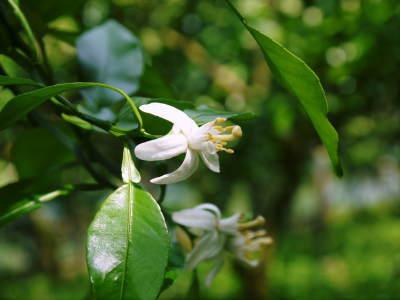 デコポン(肥後ポン) 果実を大きく成長させる匠の水管理と来年のための夏芽の話!前編_a0254656_18281161.jpg
