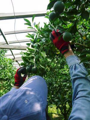デコポン(肥後ポン) 果実を大きく成長させる匠の水管理と来年のための夏芽の話!前編_a0254656_18384149.jpg