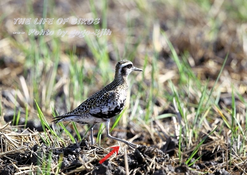 ムナグロは旅鳥で、春秋の渡りの時期に水田、農耕地などで見られる_b0346933_17190349.jpg
