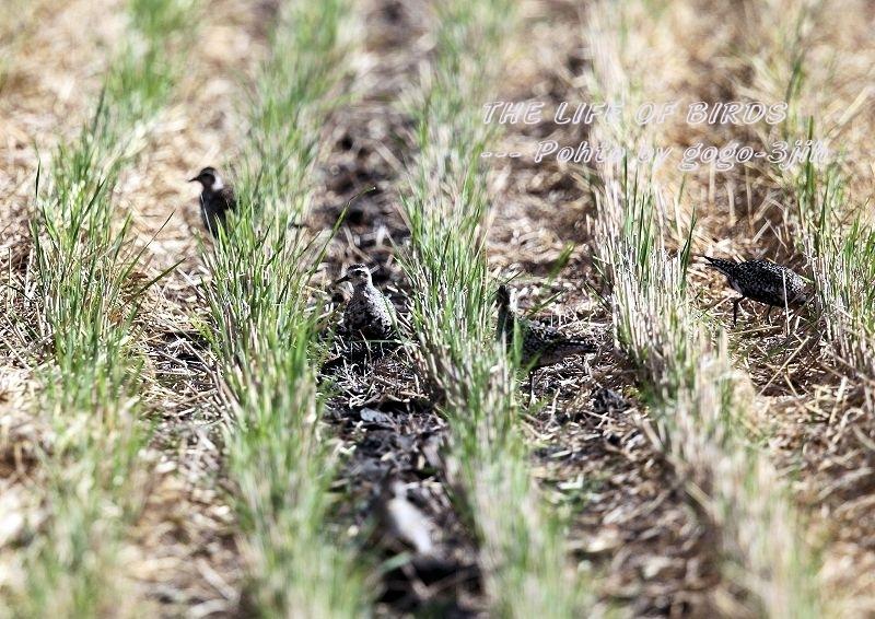 ムナグロは旅鳥で、春秋の渡りの時期に水田、農耕地などで見られる_b0346933_17191498.jpg