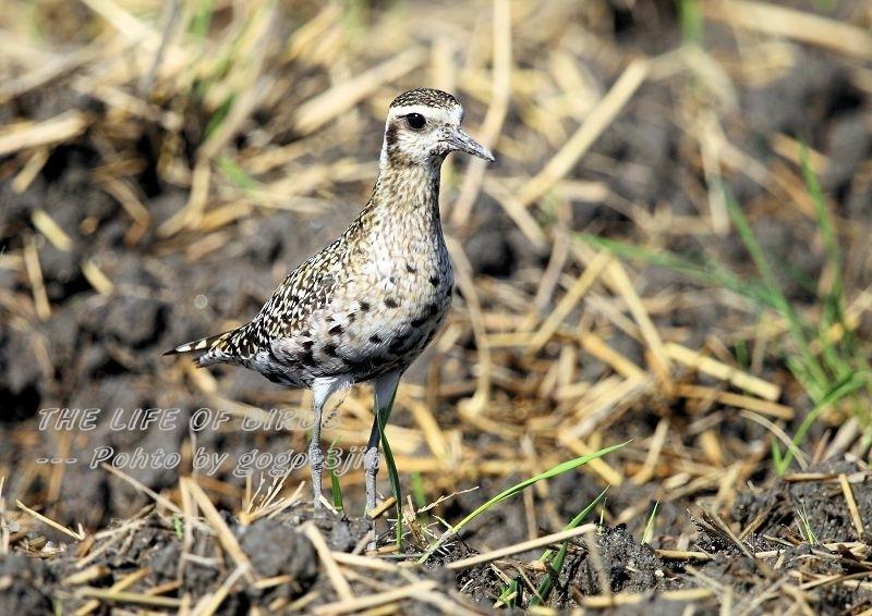 ムナグロは旅鳥で、春秋の渡りの時期に水田、農耕地などで見られる_b0346933_17191814.jpg