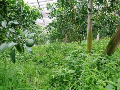 デコポン(肥後ポン) 果実を大きく成長させる匠の水管理と来年のための夏芽の話!後編_a0254656_16544115.jpg