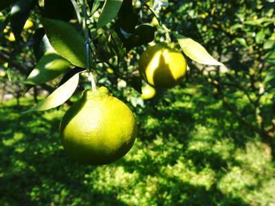 デコポン(肥後ポン) 果実を大きく成長させる匠の水管理と来年のための夏芽の話!後編_a0254656_17483654.jpg