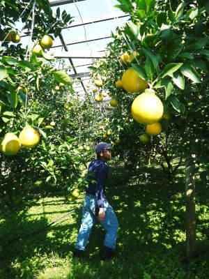 デコポン(肥後ポン) 果実を大きく成長させる匠の水管理と来年のための夏芽の話!後編_a0254656_17505274.jpg