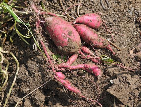秋の味覚のサツマイモとサトイモを試掘り9・9_c0014967_2133048.jpg