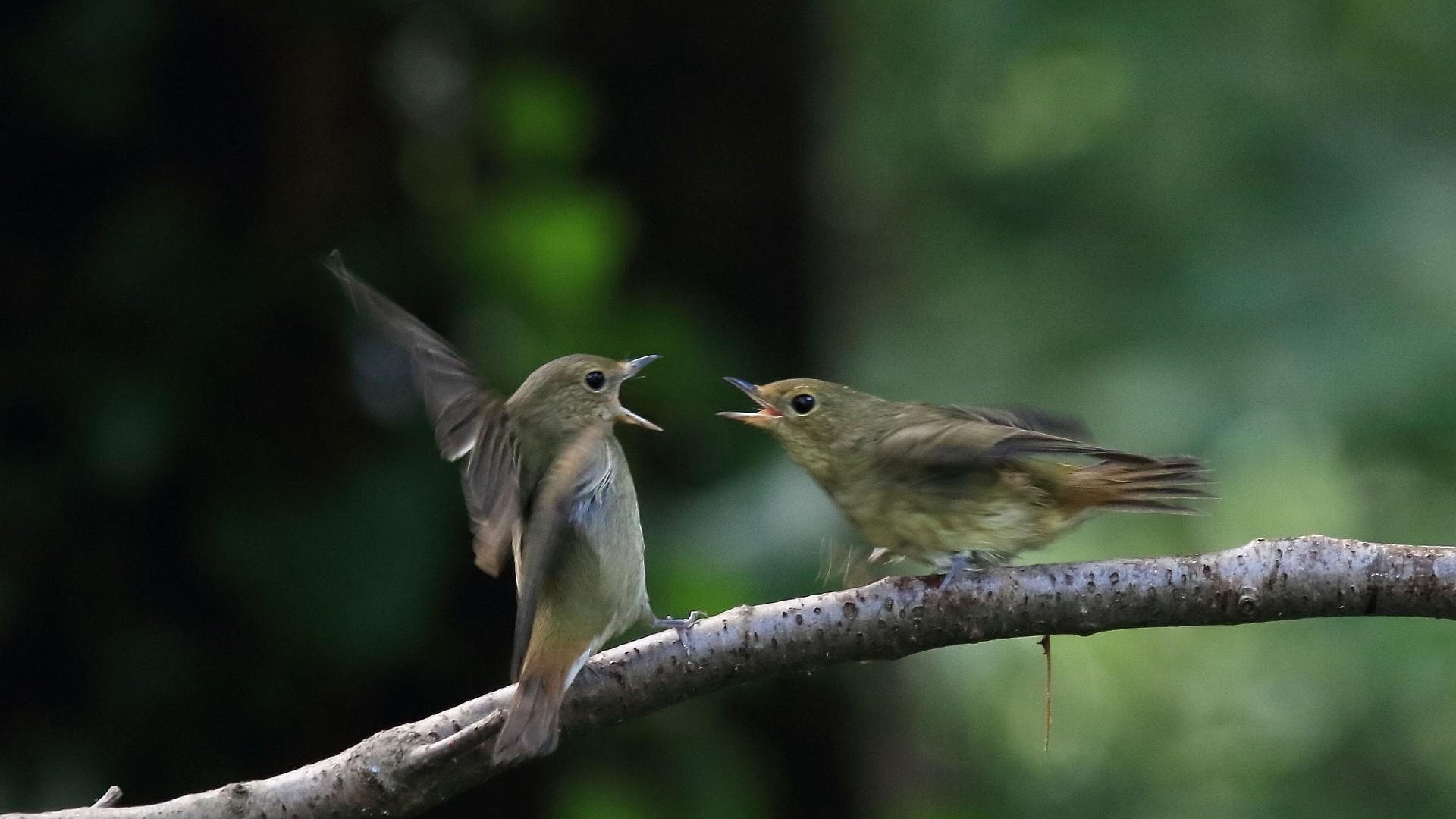 キビタキ幼鳥どうしのバトル_f0105570_21501762.jpg