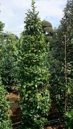カラタネオガタマ (バナナツリー)_e0202111_11124269.jpg