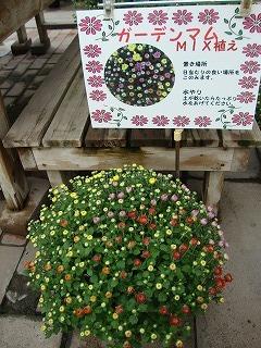秋に咲く!ガーデンマム🌼_c0141652_11061386.jpg