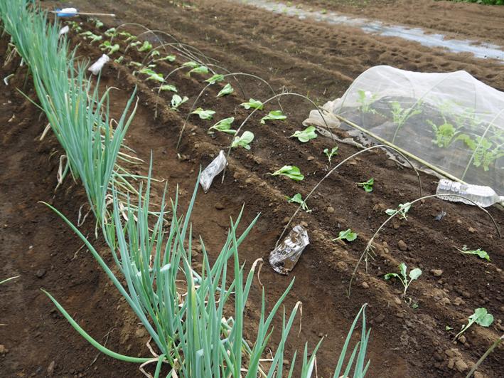 キャベツ、ブロッコリー、ニンニク植え付け、早世玉葱発芽9・11_c0014967_7515580.jpg