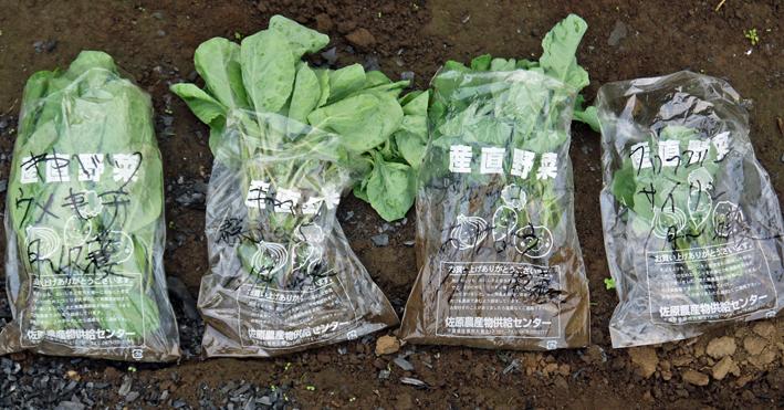 キャベツ、ブロッコリー、ニンニク植え付け、早世玉葱発芽9・11_c0014967_7521585.jpg