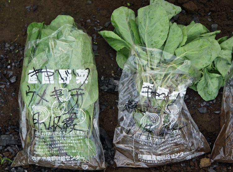 キャベツ、ブロッコリー、ニンニク植え付け、早世玉葱発芽9・11_c0014967_7531940.jpg