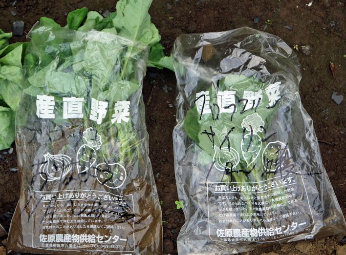 キャベツ、ブロッコリー、ニンニク植え付け、早世玉葱発芽9・11_c0014967_7533333.jpg