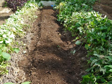 キャベツ、ブロッコリー、ニンニク植え付け、早世玉葱発芽9・11_c0014967_753465.jpg