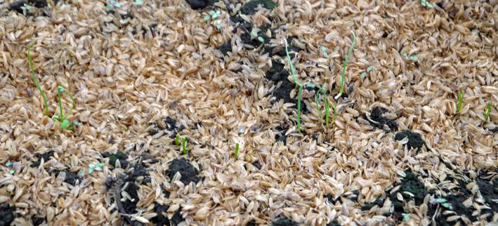 キャベツ、ブロッコリー、ニンニク植え付け、早世玉葱発芽9・11_c0014967_7535420.jpg