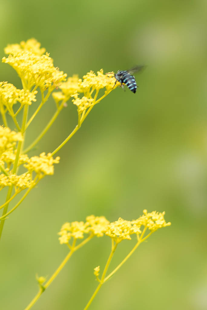 青いハチと赤いカマキリ_b0316339_18583697.jpg