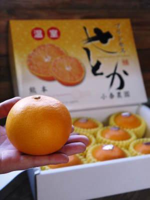 究極の柑橘「せとか」 摘果作業と玉吊り作業 樹勢も良く来年活躍する新芽も元気に芽吹いてます!_a0254656_18065303.jpg