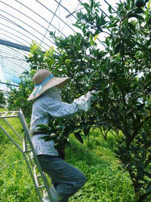 究極の柑橘「せとか」 摘果作業と玉吊り作業 樹勢も良く来年活躍する新芽も元気に芽吹いてます!_a0254656_18413813.jpg