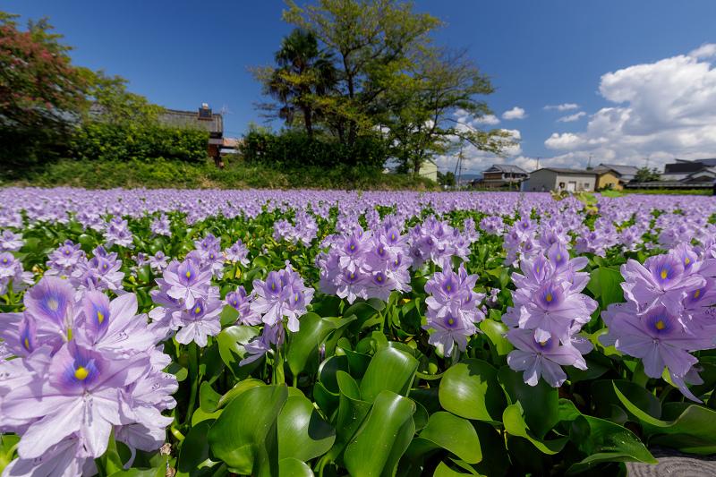 ホテイアオイが綺麗で美しい花畑