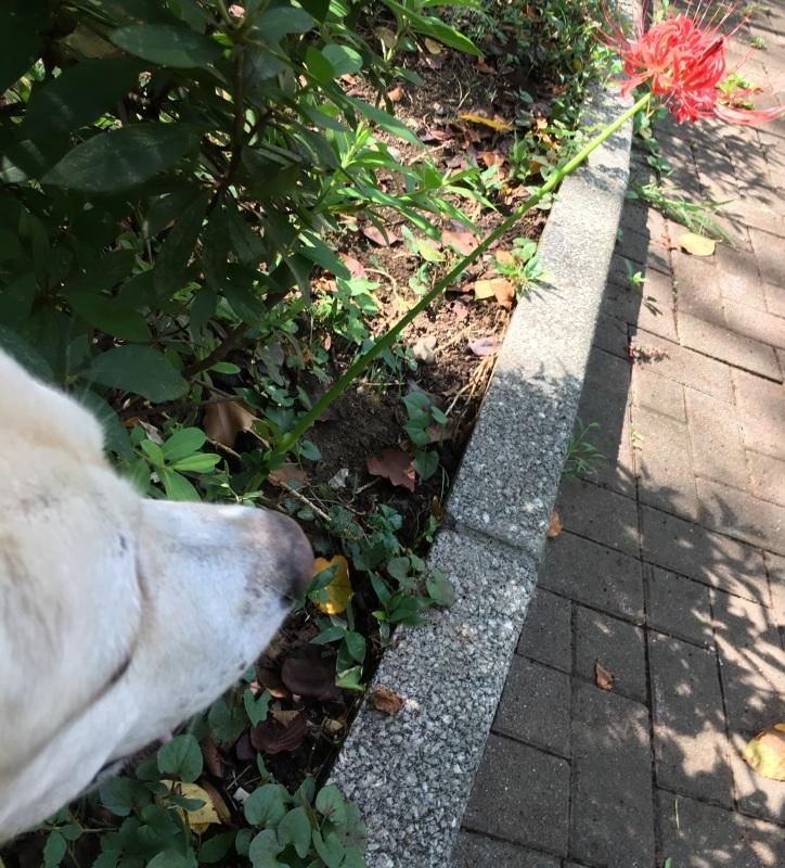 with dog   ヒガンバナと秋風_a0165160_14264968.jpg