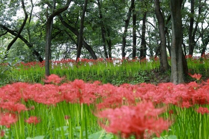 【巾着田 曼珠沙華公園】_f0348831_19474497.jpg