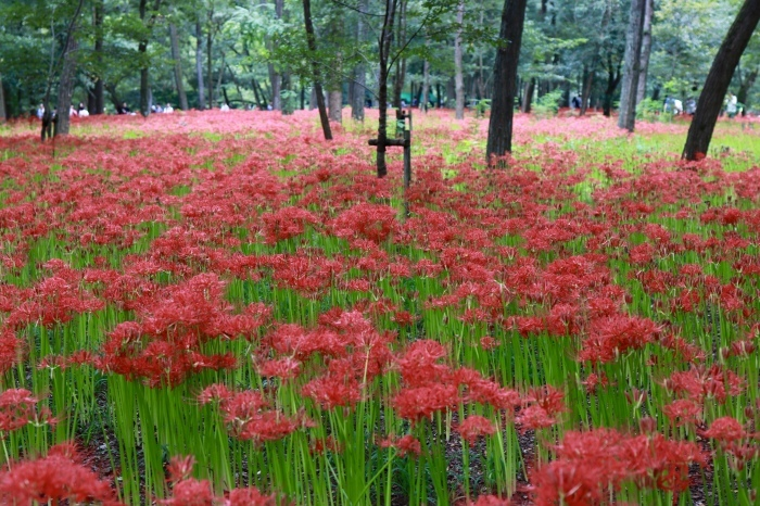 【巾着田 曼珠沙華公園】_f0348831_19475479.jpg