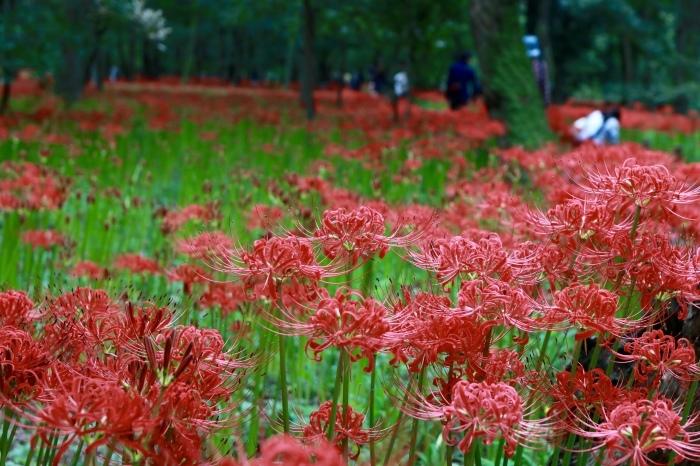【巾着田 曼珠沙華公園】_f0348831_19475684.jpg