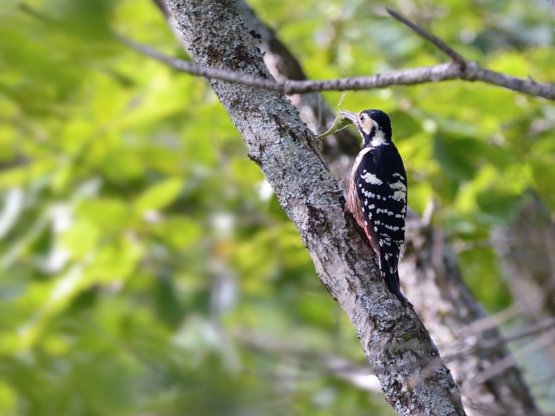 山小屋から鳥見(3)(オオアカゲラ)  _a0204089_641126.jpg