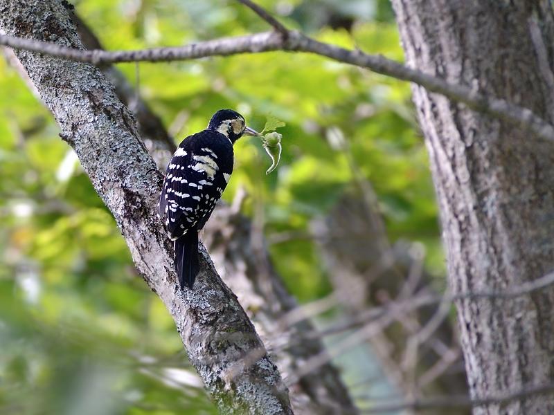 山小屋から鳥見(3)(オオアカゲラ)  _a0204089_642143.jpg