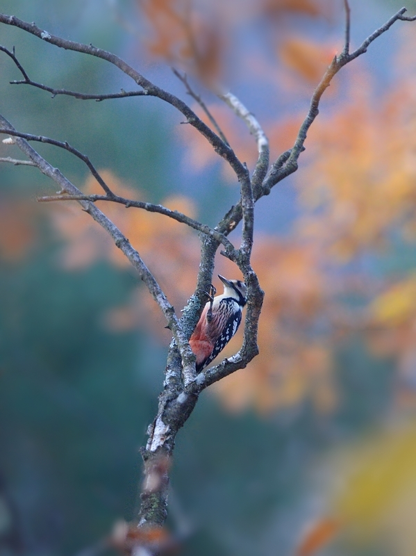 山小屋から鳥見(3)(オオアカゲラ)  _a0204089_644410.jpg