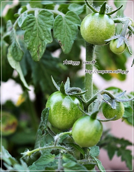 サーモンの味噌漬け焼き弁当と我が家の庭から・ミニトマト成長日記⑤♪_f0348032_18093075.jpg