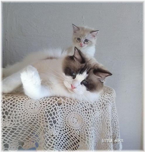 ☆ラグド-ルの仔猫*集合しますか?_c0080132_13005582.jpg