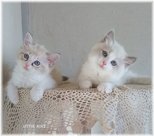 ☆ラグド-ルの仔猫*集合しますか?_c0080132_13015799.jpg