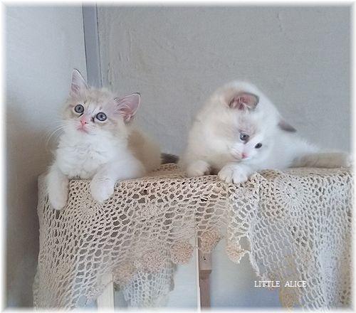 ☆ラグド-ルの仔猫*集合しますか?_c0080132_13031413.jpg