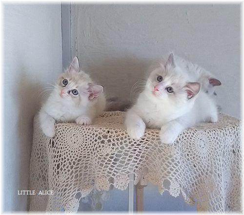 ☆ラグド-ルの仔猫*集合しますか?_c0080132_13041561.jpg