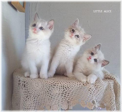 ☆ラグド-ルの仔猫*集合しますか?_c0080132_13052378.jpg