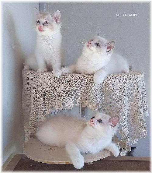 ☆ラグド-ルの仔猫*集合しますか?_c0080132_13081710.jpg