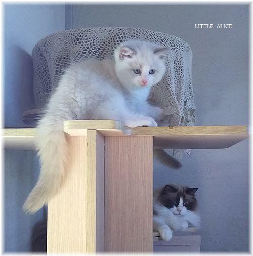 ☆ラグド-ルの仔猫*集合しますか?_c0080132_13085802.jpg