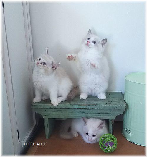 ☆ラグド-ルの仔猫*集合しますか?_c0080132_13185402.jpg
